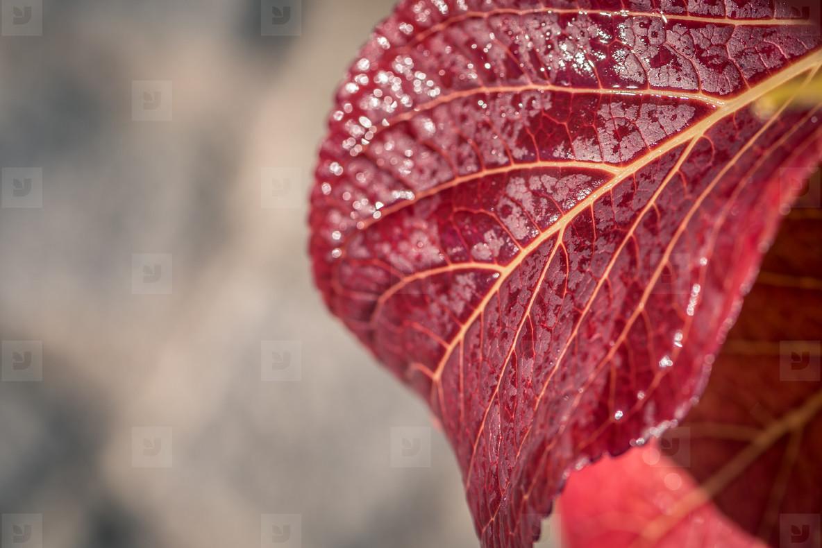 Red leaf after rain