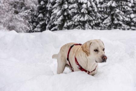 Labrador   Max   snow