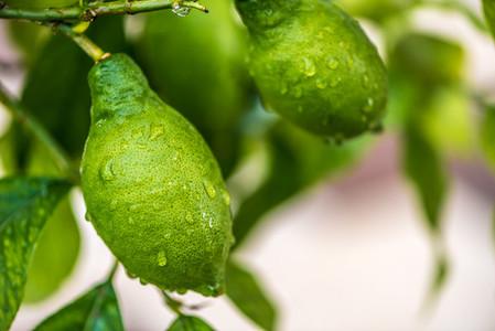 Fresh citrons after rain