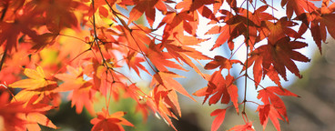 Colored red maple leaves