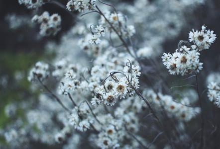 Dried flowers in wintertime
