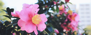 Flowering camellia in garden