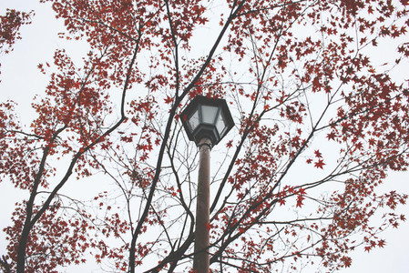 Streetlight and red leaves tree