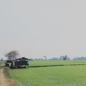Rice Field  01