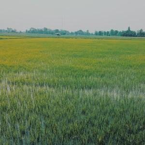 Rice Field 02