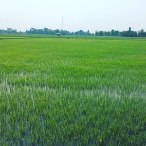 Rice Field 03