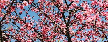 Peach flowers  01
