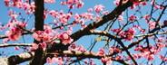 Peach flowers  02