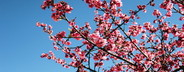 Peach flowers  03