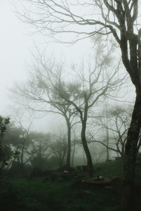 Trees in a forest with fog