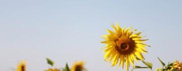 Sunflower  04