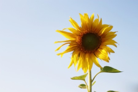 Sunflower 05