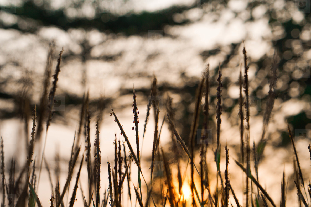 Silhouette of grasses