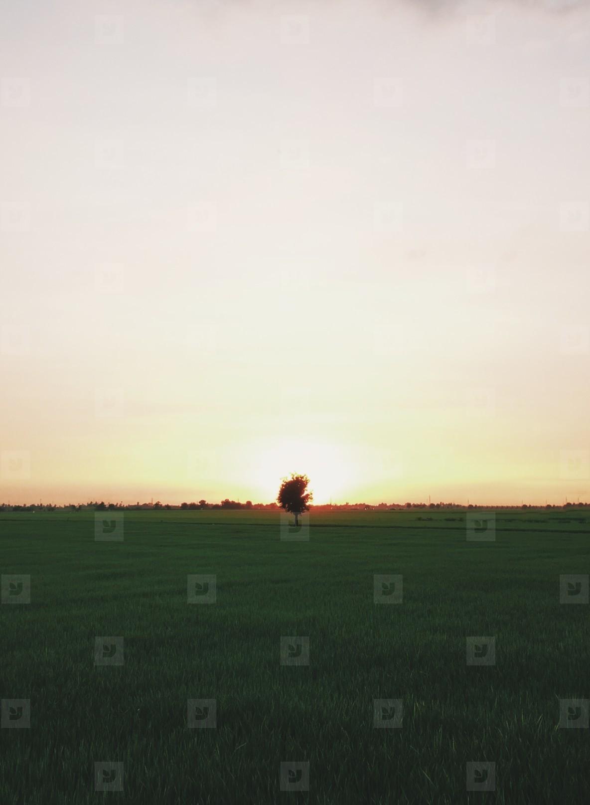 Alone tree in farm rice