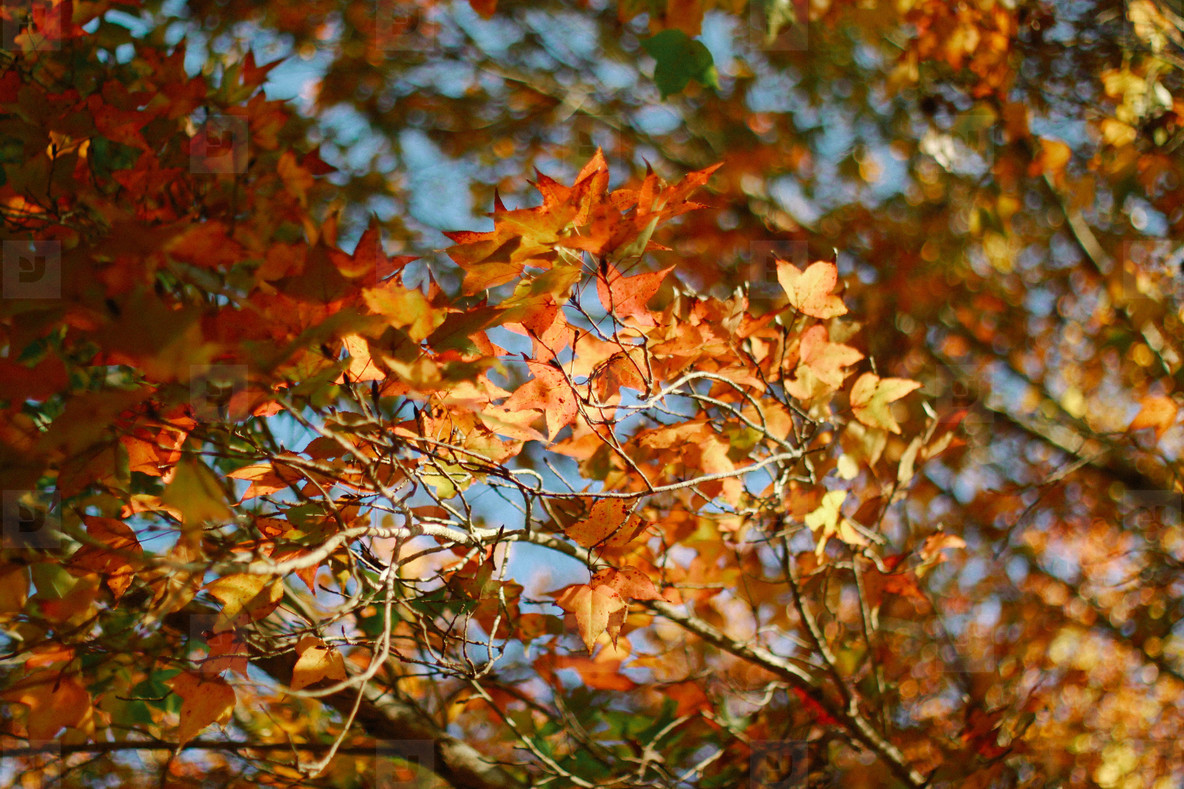 Autumn maple leaves  01