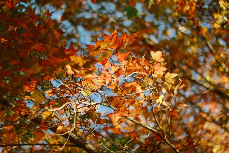 Autumn maple leaves  01