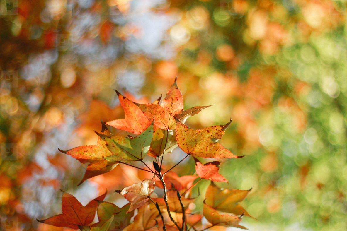 Autumn maple leaves  02