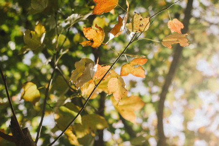 Autumn maple leaves  03
