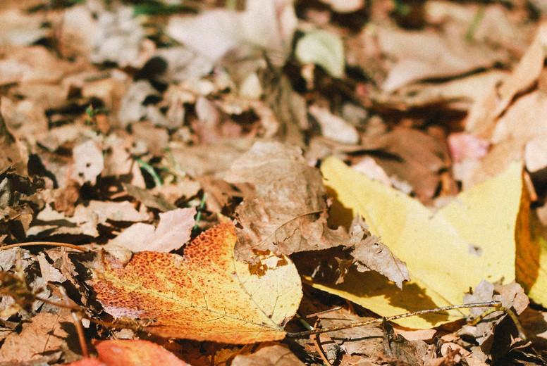 Autumn maple leaves  04