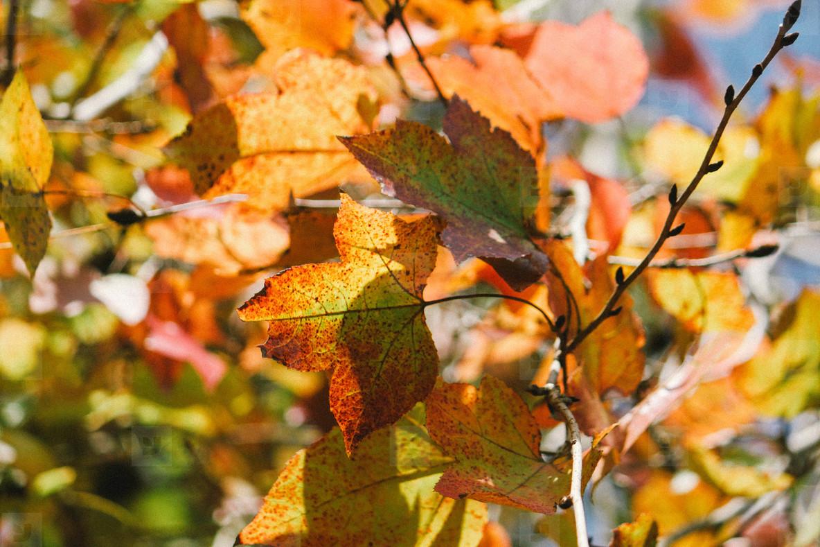 Autumn maple leaves  05