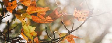 Autumn maple leaves  06