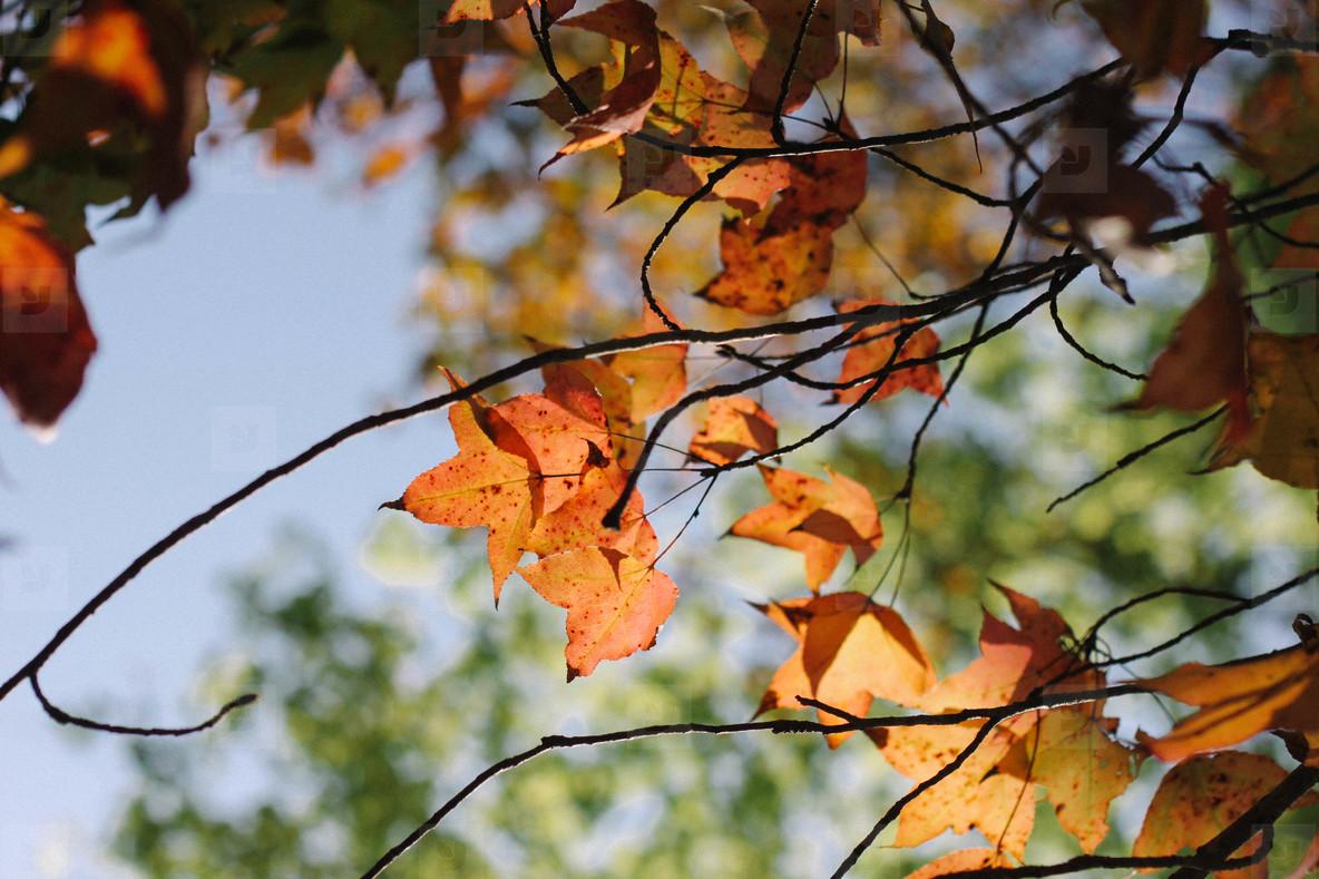 Autumn maple leaves  07