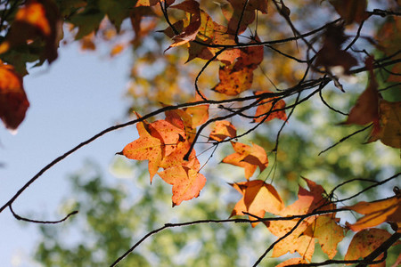 Autumn maple leaves  07