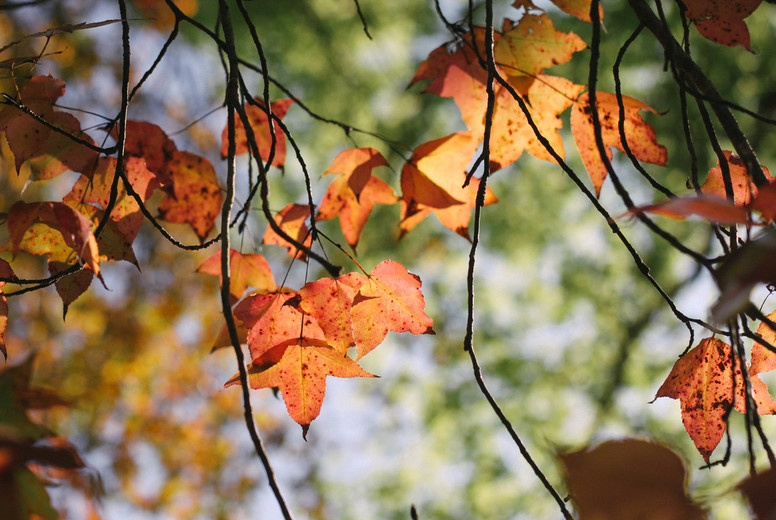 Autumn maple leaves  08