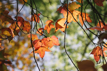 Autumn maple leaves 08