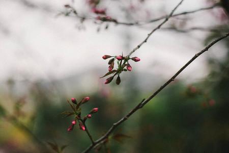 Cherry Blossom  05