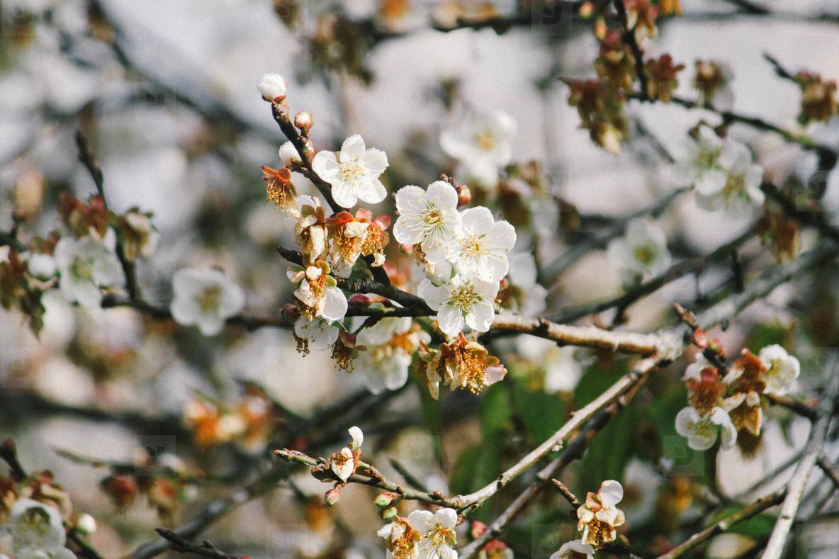 Autumn Blossom  01