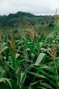 Wheat corn field