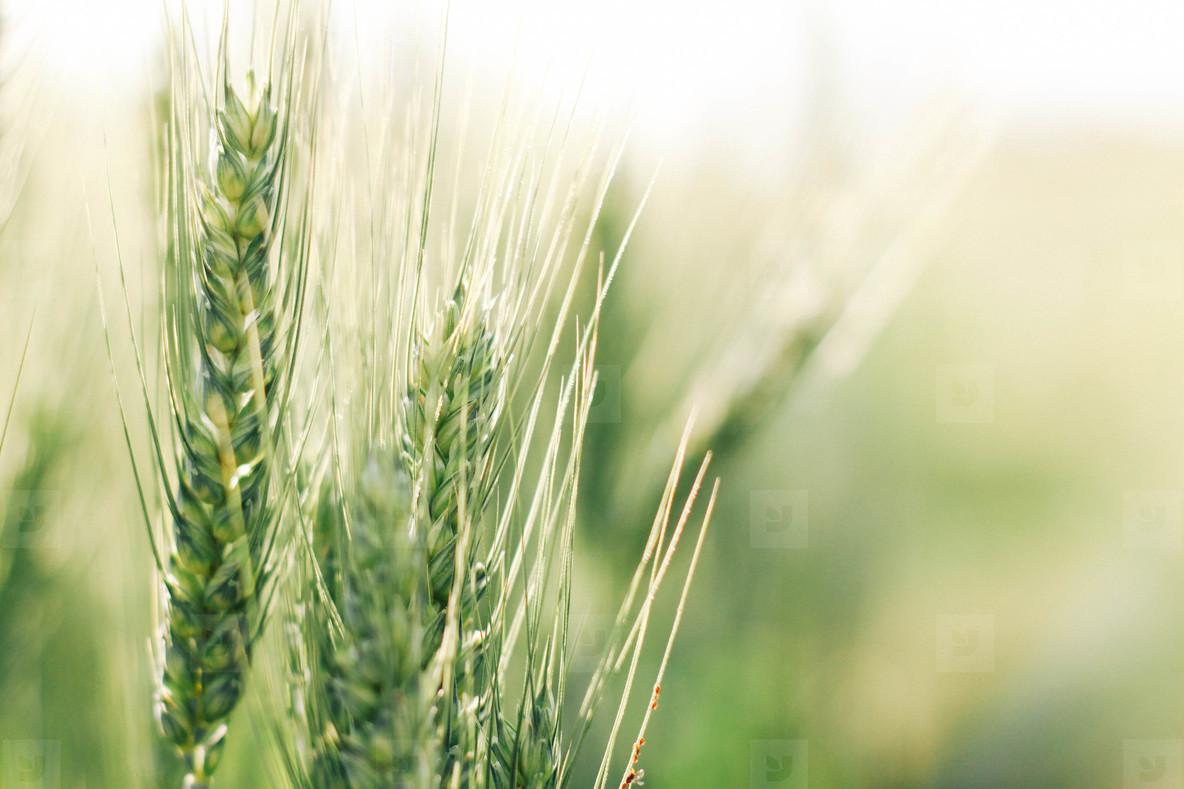 Wheat field  01