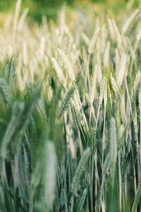 Wheat field 02