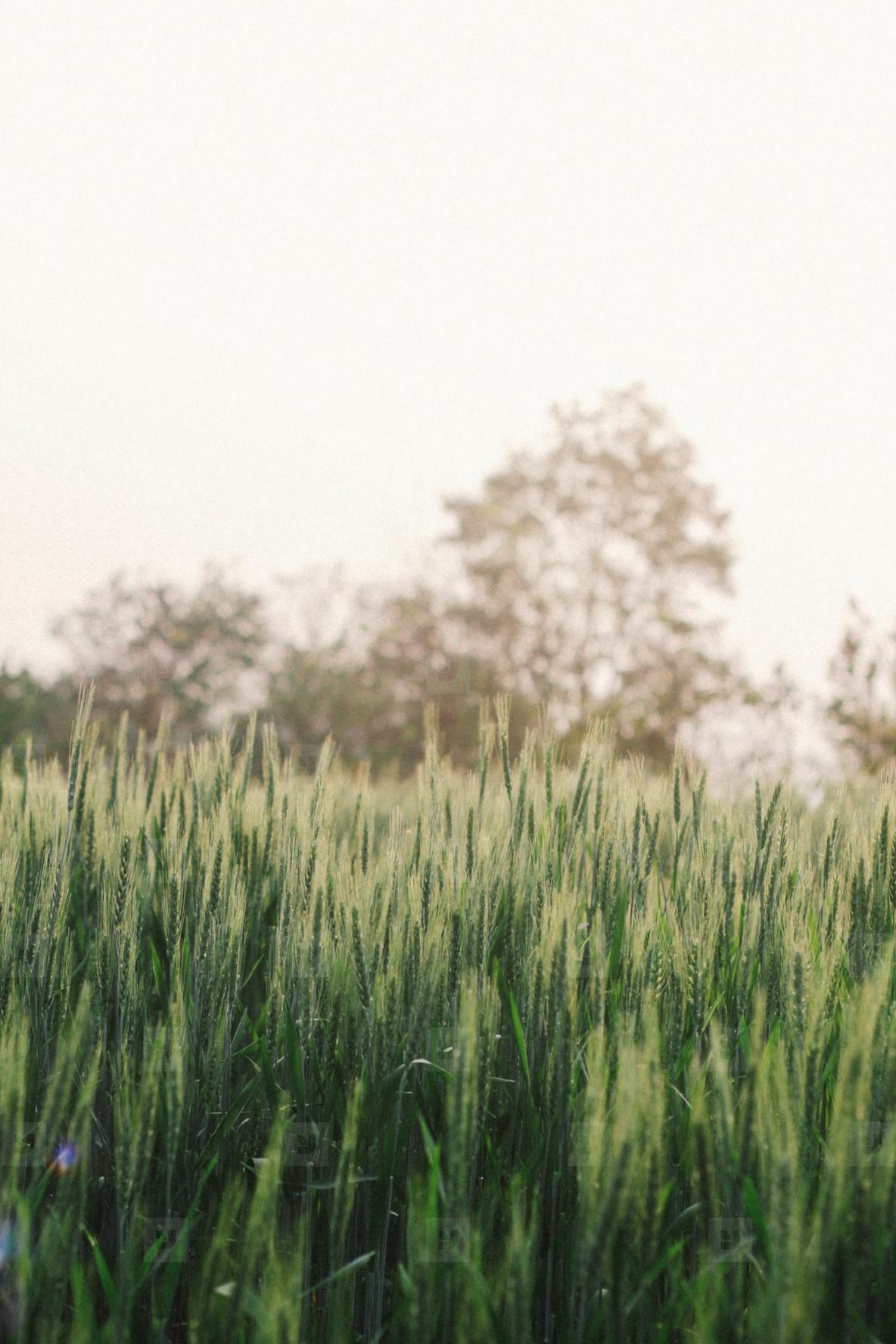 Wheat field  03