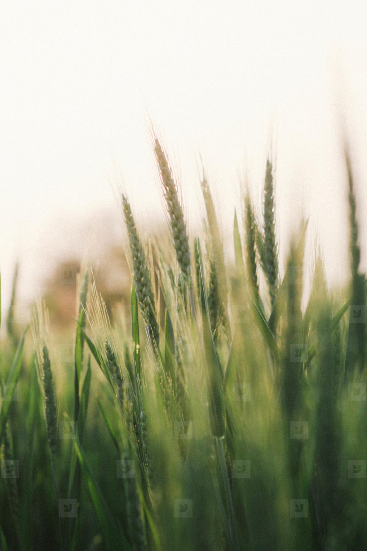 Wheat field  05