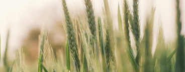 Wheat field  05