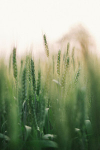 Wheat field 08