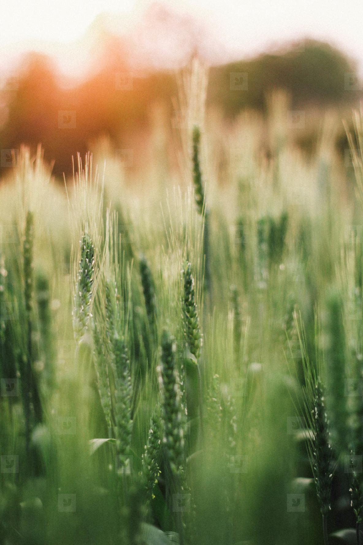Wheat field  09