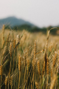 Wheat field  10
