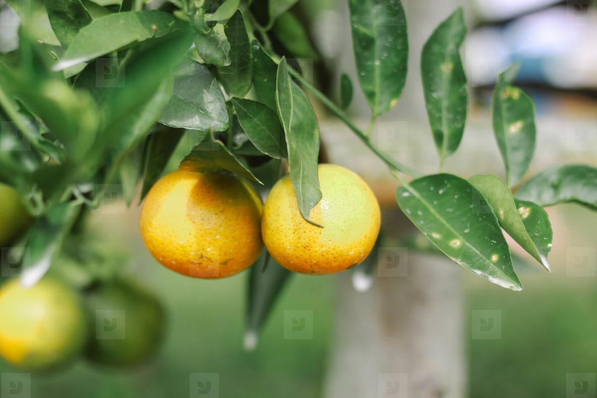 Fresh Oranges  01