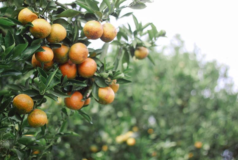 Fresh Oranges  02
