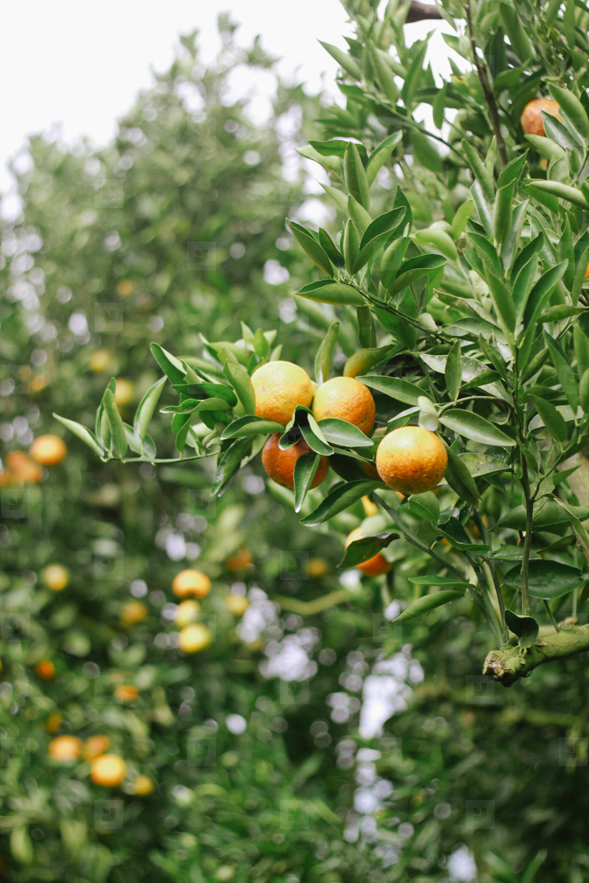 Fresh Oranges  03