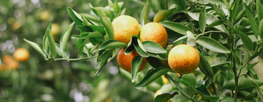 Fresh Oranges  03