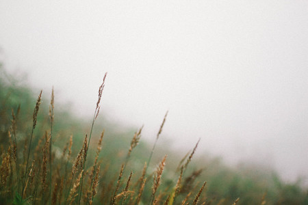 Grass in a misty