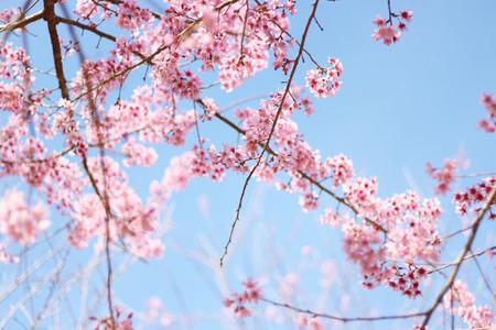 Cherry Blossom 04