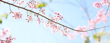 Cherry Blossom  08
