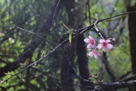 Pink Cherry Blossom 01