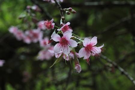 Pink Cherry Blossom 02