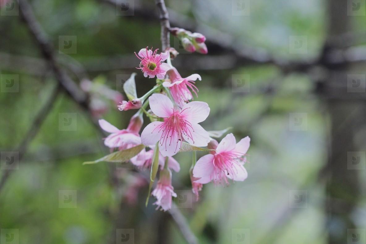 Pink Cherry Blossom  03